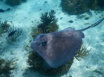 Stingray swimming in the Coral Garden in Grand Cayman.
